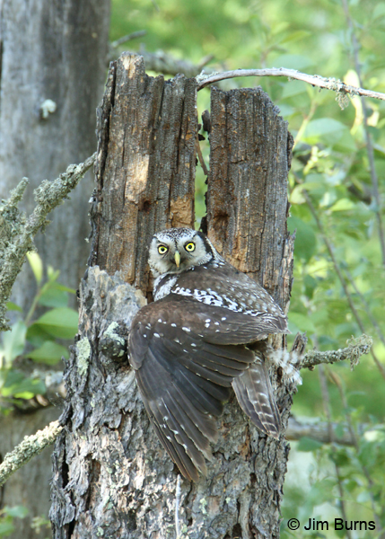 Northern Hawk Owl female mantling prey feeding young