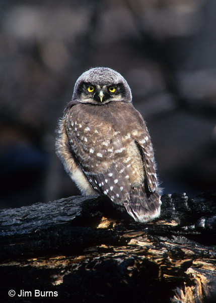 Northern Hawk Owl fledgling