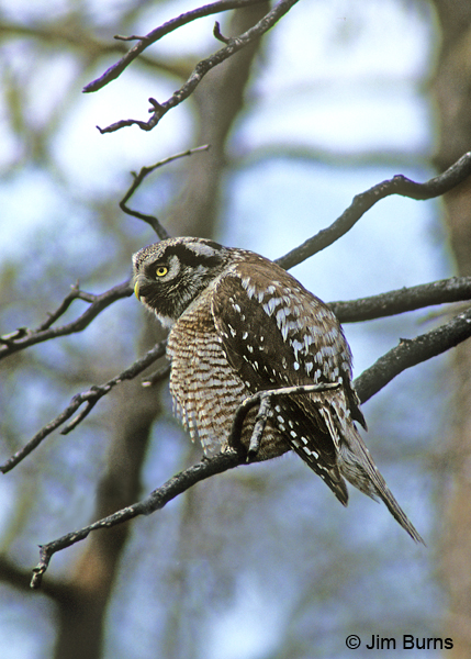 Northern Hawk Owl fluffing feathers