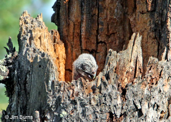 Northern Hawk Owl hatchling