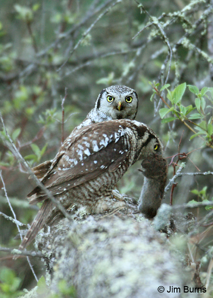 Northern Hawk Owl prey exchange female in foreground
