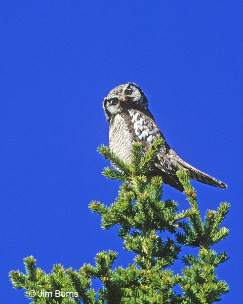 Northern Hawk Owl teed up on pine