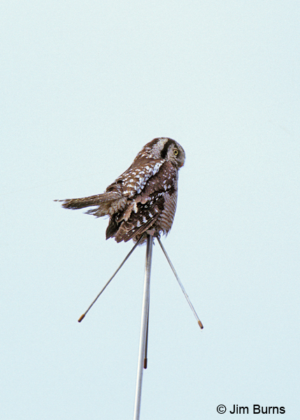 Northern Hawk Owl weather vane