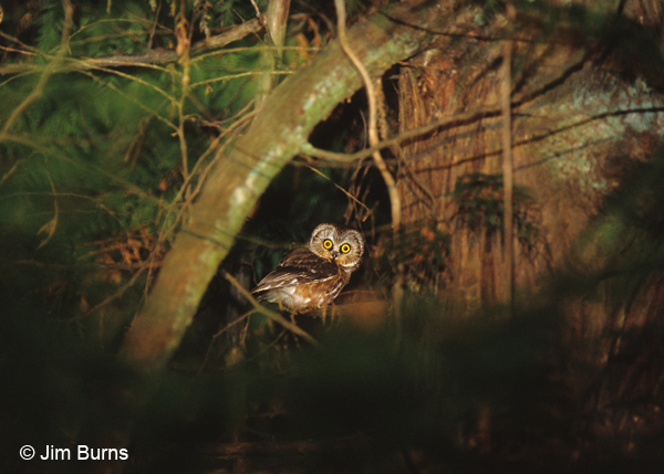 Northern Saw-whet Owl in red cave