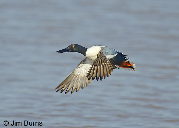 Northern Shoveler male in flight