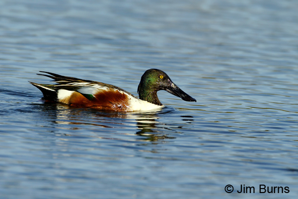 Northern Shoveler male on water