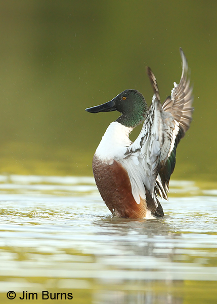 Northern Shoveler - the conductor.