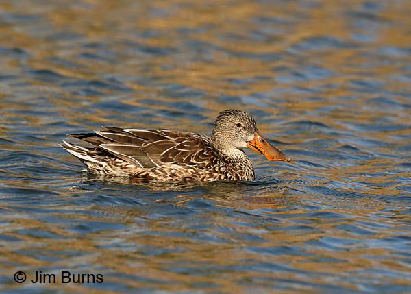 Northern Shoveler female in the water