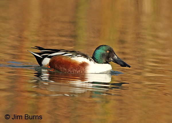 Northern Shoveler male in the water