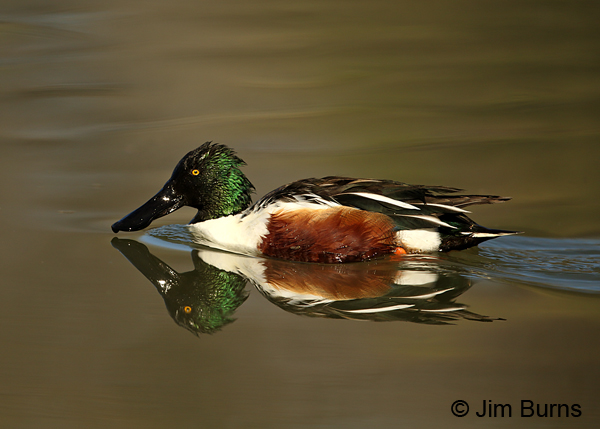 Northern Shoveler male reflections