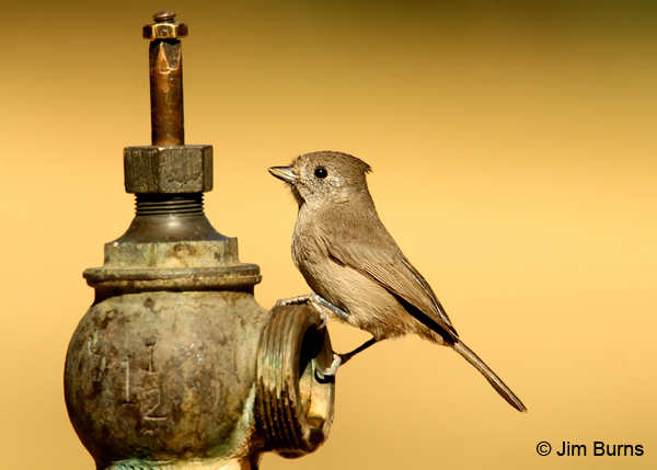 Oak Titmouse at water source