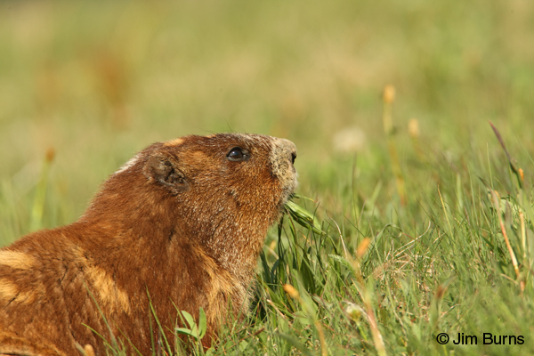 Olympic Marmot eating grass