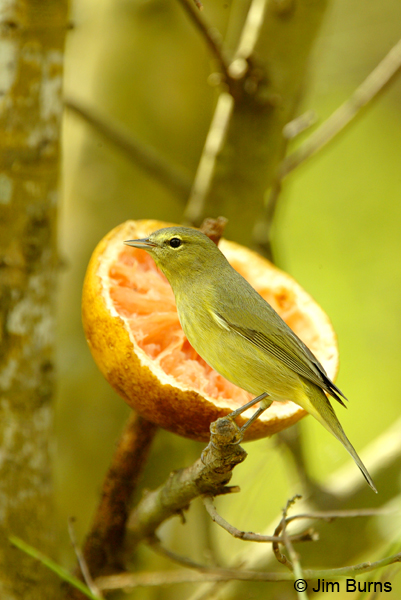 Orange-crowned Warbler at grapefruit