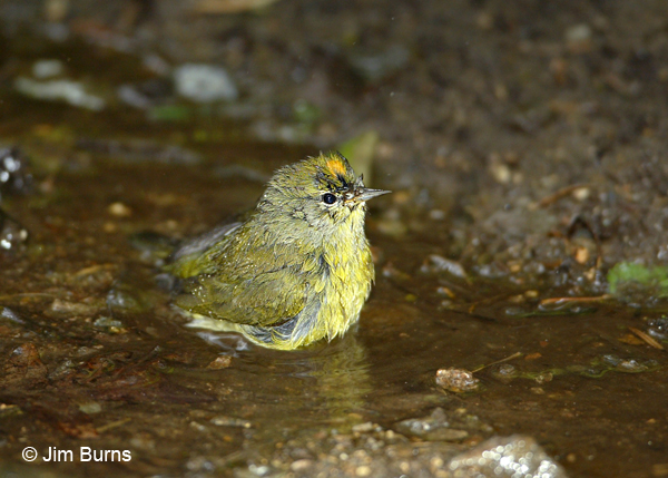 Orange-crowned bathing