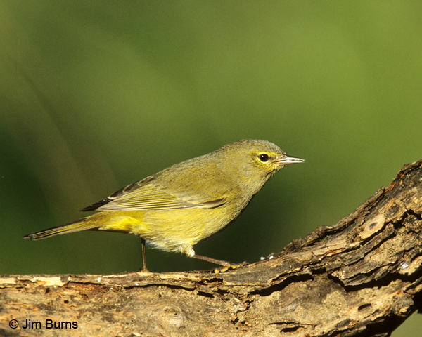 Orange-crowned Warbler on log