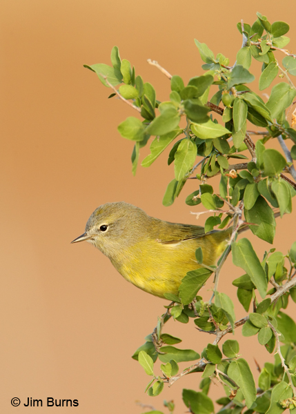 Orange-crowned Warbler portrait