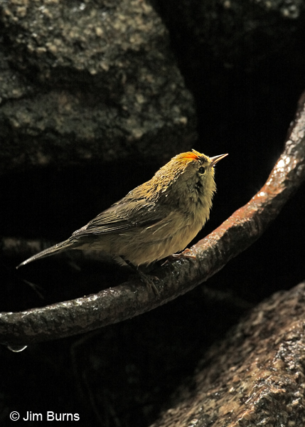 Orange-crowned Warbler showing orange crown