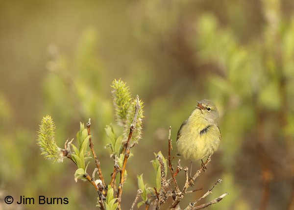 Orange-crowned Warbler singing in willows