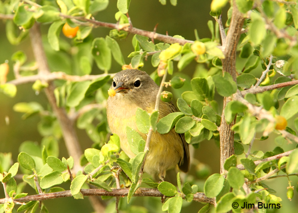 Orange-crowned Warbler with Wolfberry