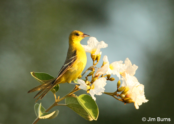 Orchard Oriole female at Texas Olive