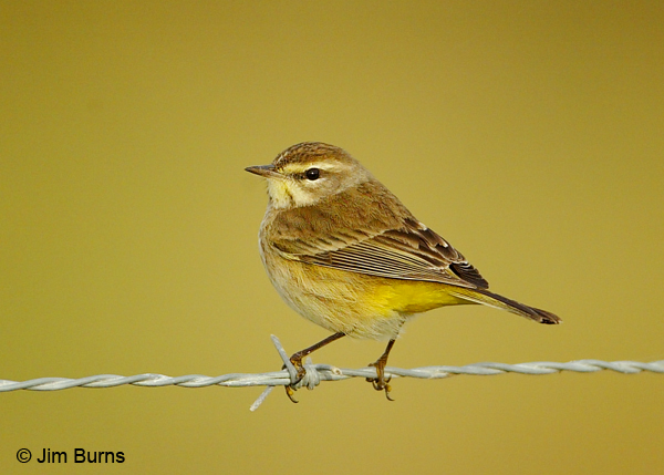 Palm Warbler winter