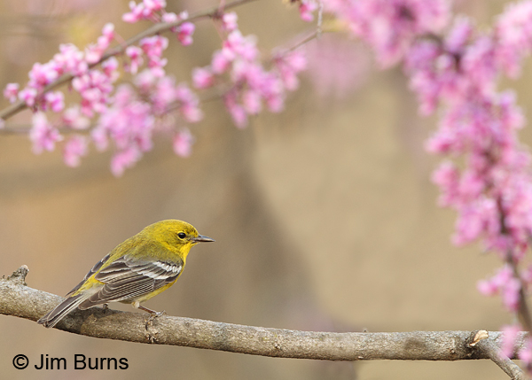 Pine Warbler male in Redbud
