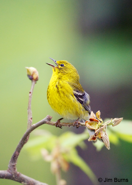 Pine Warbler male singing in oak