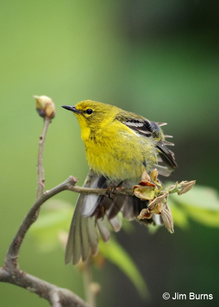 Pine Warbler male wingstretch