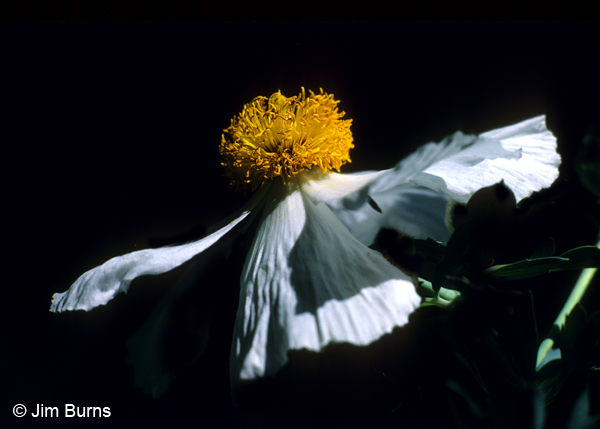 Matilija Poppy, Arizona