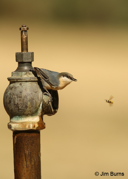 Pygmy Nuthatch and bee negotiating water rights