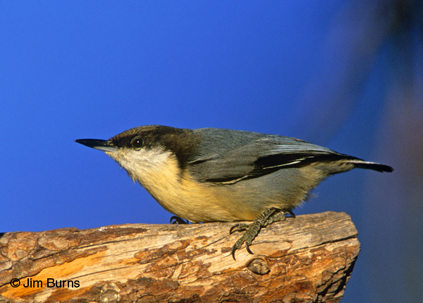 Pygmy Nuthatch on snag