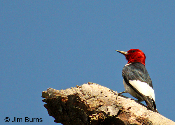 Red-headed Woodpecker on snag