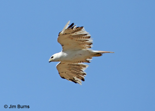 Red-tailed Hawk leucistic in flight ventral