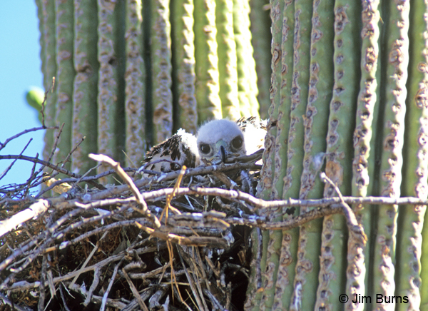 Red-tailed Hawk nestling in Saguaro nest