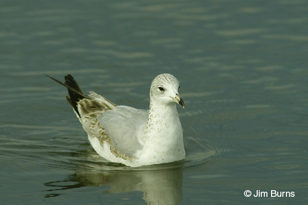 Ring-billed Gull 1st winter on water