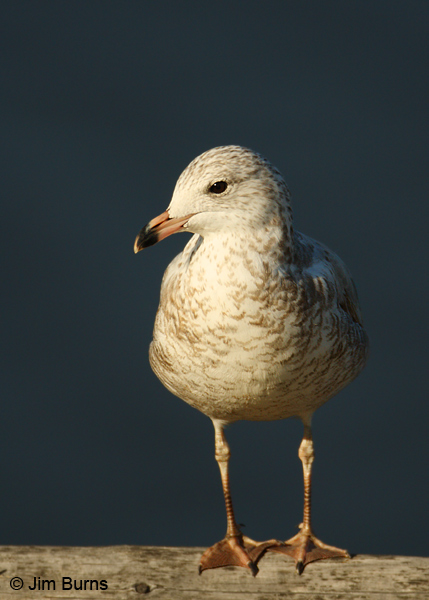 Ring-billed Gull 1st winter in sunshaft