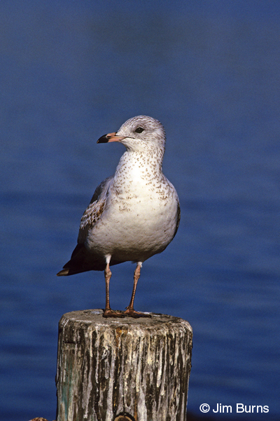 Ring-billed gull 1st winter