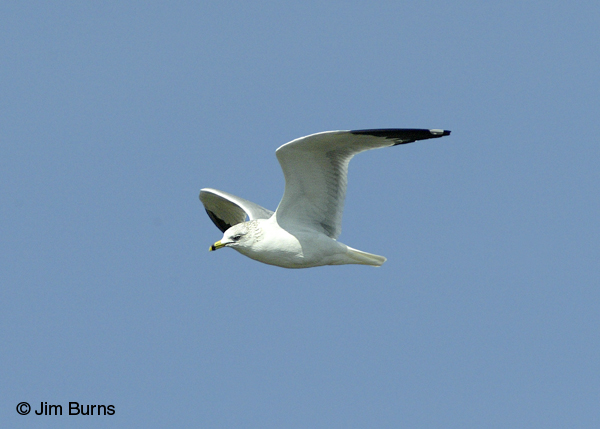 Ring-billed Gull adult flight profile