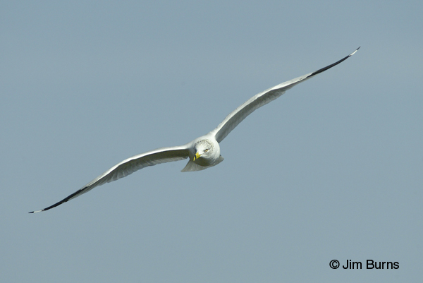Ring-billed Gull adult in flight