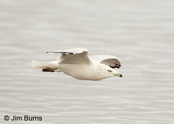 Ring-billed Gull adult winter in flight