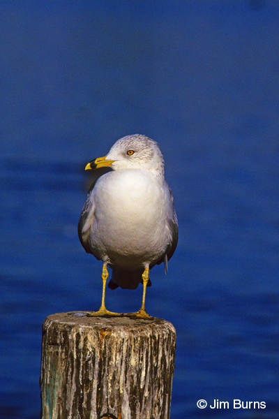 Ring-billed Gull adult winter