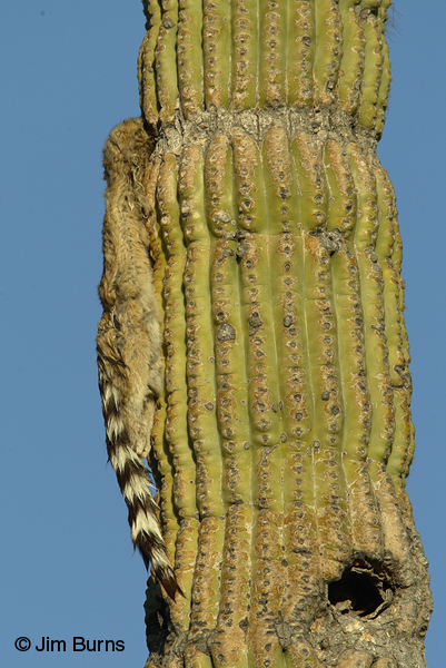 Ringtail carcass hanging from saguaro