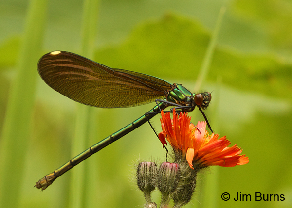 River Jewelwing female on Orange Hawkweed, Rusk Co., WI, June 2014