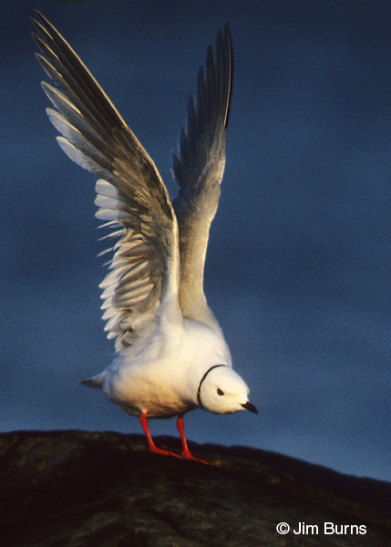 Ross's Gull wing stretching