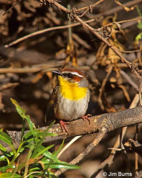 Rufous-capped Warbler in brush