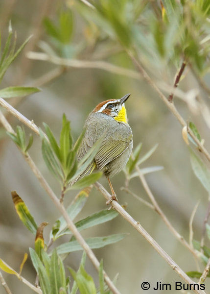 Rufous-capped Warbler in willows
