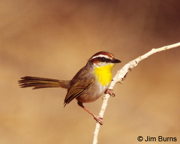 Rufous-capped Warbler on perch
