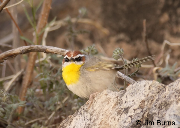 Rufous-capped Warbler on rock