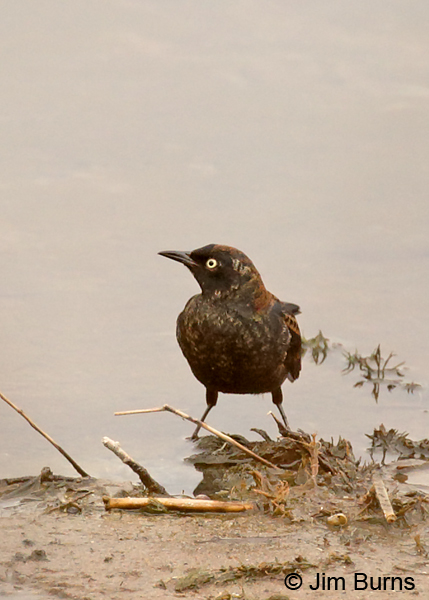 Rusty Blackbird fall male ventral view
