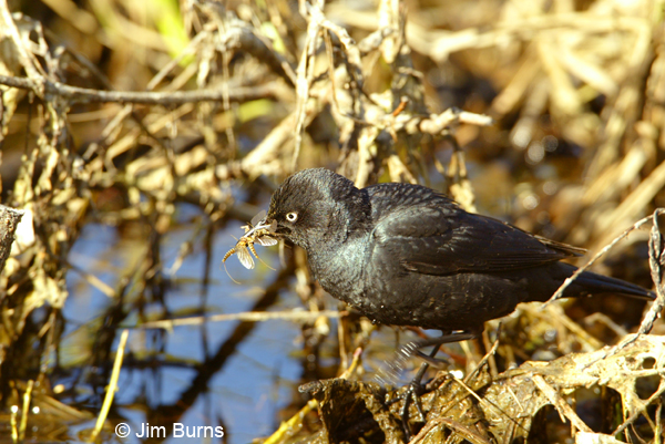 Rusty Blackbird with mayflies
